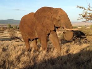 Galvan_KenyanConservancies_Elephant_07.16.14