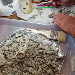 After the plaster was removed, the Palaeosinopa fossil is being carefully cleaned off.