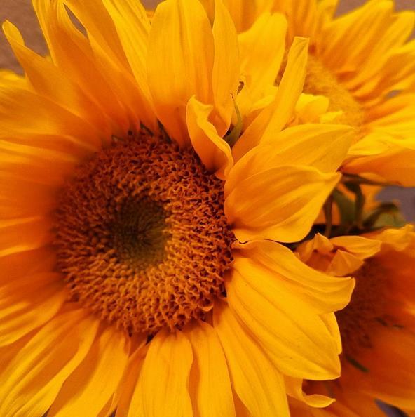 damnsunflowers
