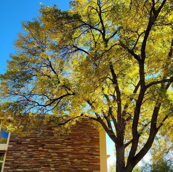 Image by Jill Salahub -- 1 in 5 trees in Fort Collins are Ash. Other than Aspens, they are the most beautiful of all the trees in fall. Because of a pest on its way, the emerald ash borer, in about 5 years they could ALL be gone.