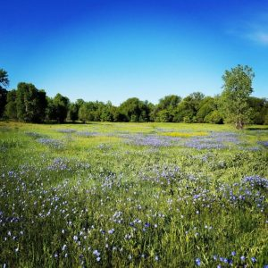 Meadow with blue flowers