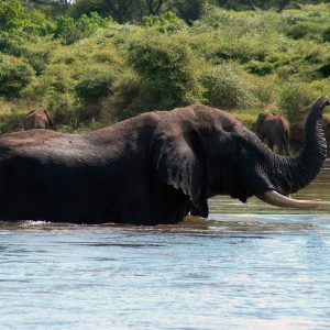 Elephant in zambia