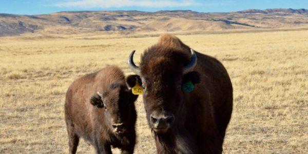 Larimer County Conservation bison herd at Soapstone Prairie.