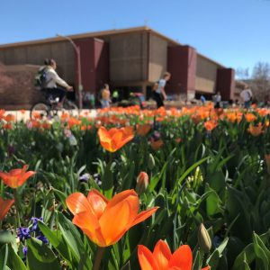Tulips blooming in front of CSU Clark Building