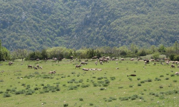 Flock of sheep in the Mediterranean