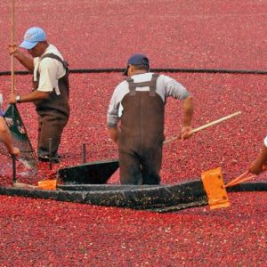 cranberry workers