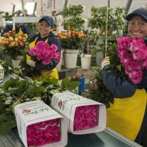 Workers at a Fairtrade certified flower farm in Ecuador