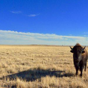 Bison at Soapstone Prairie by Katie Simota