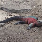 Komodo dragon in the Galapagos