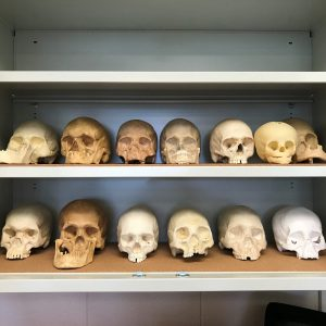 Casts of skulls in the Human Origins Lab